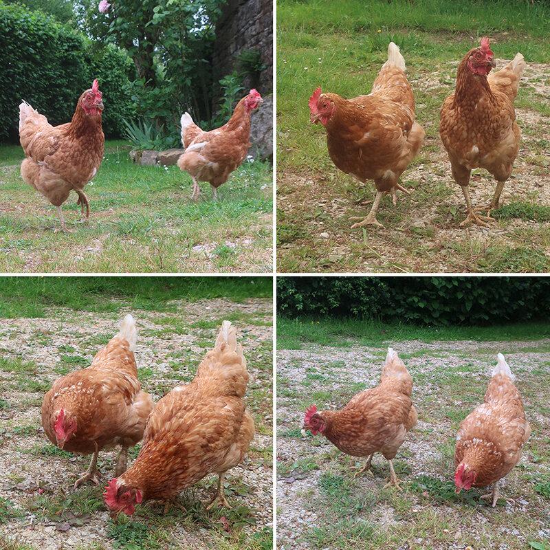 poules c