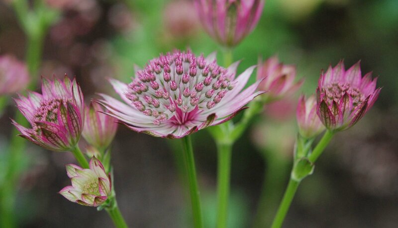 Astrantia 'Washfield'