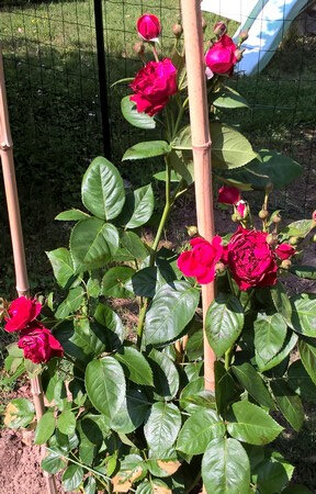 20180519 rosier de Lidl