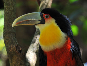toucan_ventre_rouge__3_