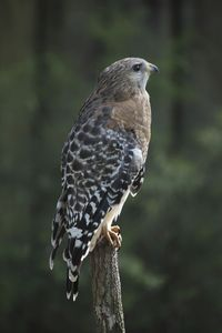 100 Red-shouldered Hawk Buteo lineatus