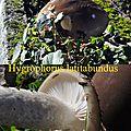 Hygrophorus latitabundus