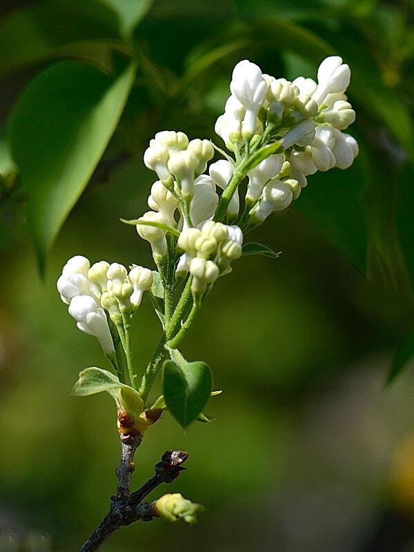 Lilas blanc 2