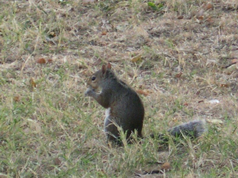 Petit écureuil en plein casse-croute