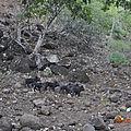 Nuku Hiva 6petits cochons