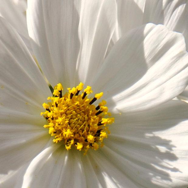 Coeur de cosmos blanc 3