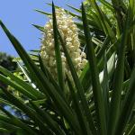 Yucca-aloifolia-83480-2 Promesse de fleurs