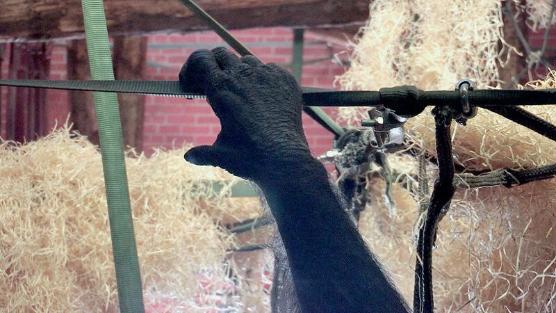 SANGLE FLEXIBLE DANS L'ENCLOS DES CHIMPANZES DU ZOO DE TWYCROSS