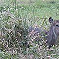 Antilope cobe à croissant : afrique de l'est