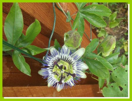 DSCF5275 passi flore