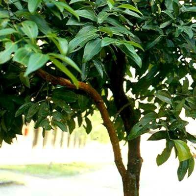 cannelier-chine-cinnamomum-cassia[1]
