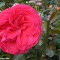 Rose rouge éclatante (nom inconnu)