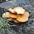 Gymnopilus spectabilis (3)