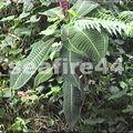 15_le miconia plante parasite de polynésie