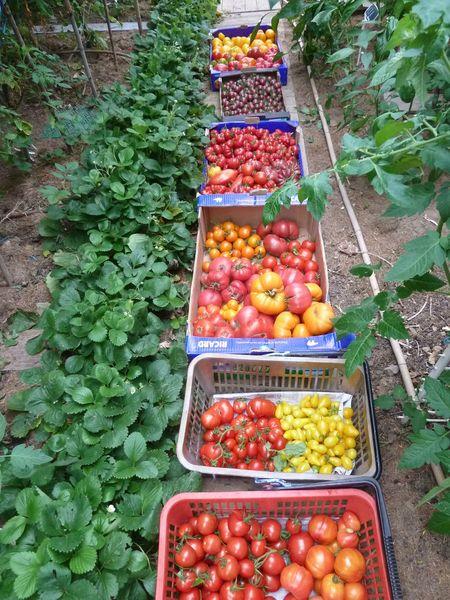 26-récolte serre du jour-37kgs (7)