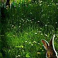 Encore des lapins !