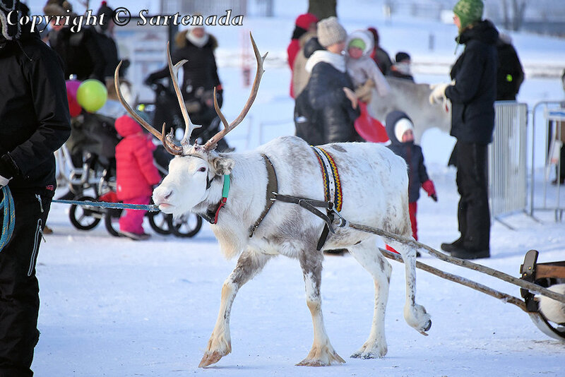 reindeer_rides_for_families_oulu_-10