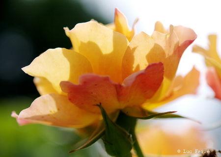 rosej