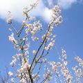 Sakura & hiziki