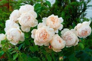 rose_david_austin