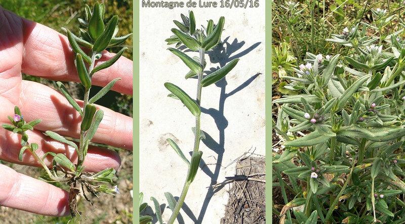 tiges dressées ou ascendantes à poils appliqués feuilles 4-8 cm étroites lancéolées à 1 nervure