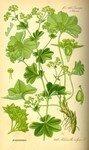 Alchemilla_vulgaris
