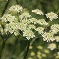 2009 06 04 Fleurs de ciguë