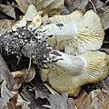 Lyophyllum decastes (2)