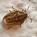 Punaise Neottiglossa leporina • Famille des Pentatomidae