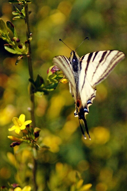 Papillon Var 2013 (4)