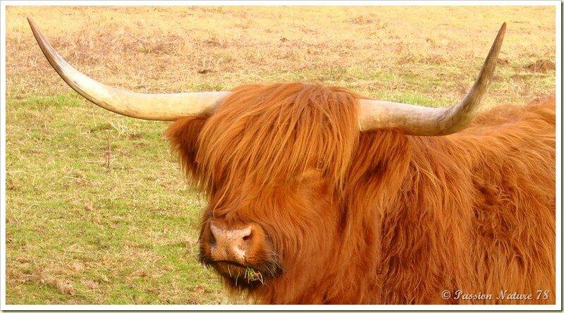 La vache de race Highland (14)