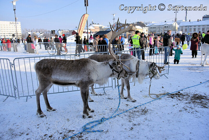reindeer_rides_for_families_oulu_-28