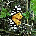 Epicallia villica arctiinae