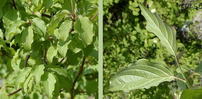 feuilles caduques entières opposées pétiolées nervurées