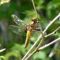 libellule déprimée (femelle)