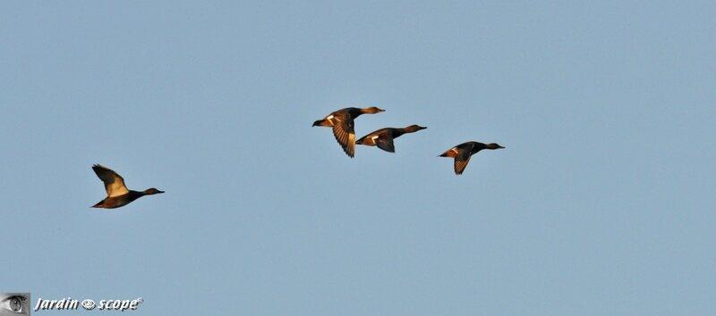 Vols de colverts au dessus du Loiret
