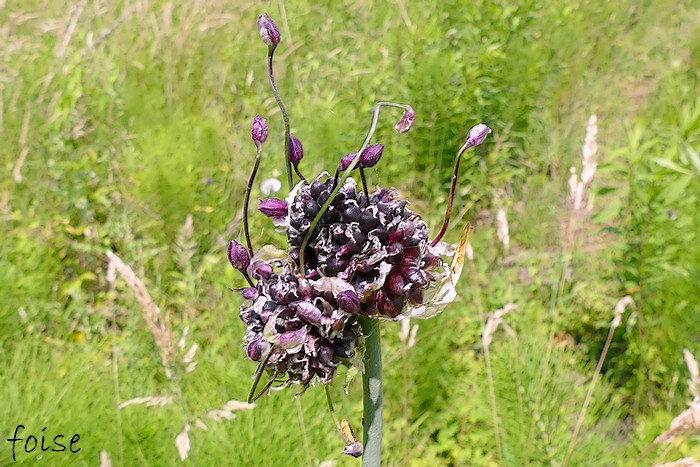 fleurs purpurines peu nombreuses longuement pédicellées
