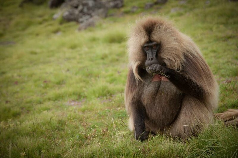 babouin gélada