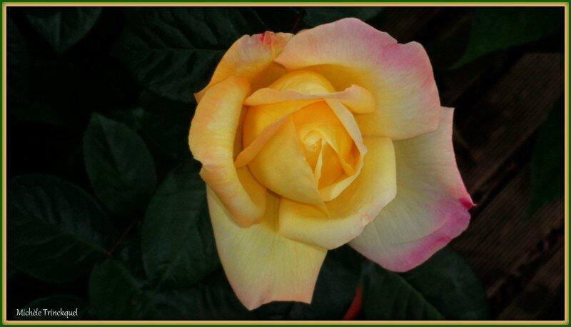 Rose 260515