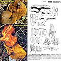 Boletinellus_merulioides_IOH_mont_redim80